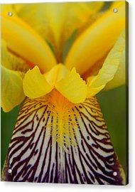 Bearded Iris Acrylic Print by Mark J Seefeldt