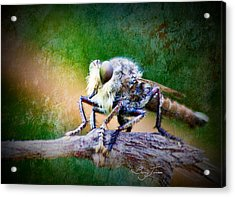 Bearded Robber Fly Acrylic Print by Barry Jones