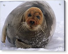 Bearded Seal Erignathus Barbatus Adult Acrylic Print by Flip  Nicklin