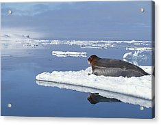 Bearded Seal Resting On Ice Floe Norway Acrylic Print by Flip Nicklin
