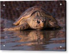 Beaufort The Turtle Acrylic Print by Susan Cliett