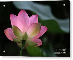 Beautiful Backlit Lotus Acrylic Print by Sabrina L Ryan