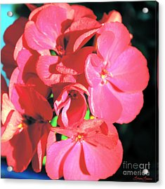 Beautiful Begonia Acrylic Print by Lorraine Louwerse
