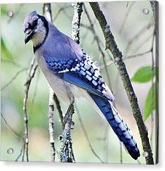 Beautiful Blue Jay Acrylic Print by Paulette Thomas