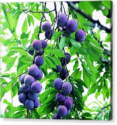 Beautiful Blue Plums On The Tree Acrylic Print by Lanjee Chee