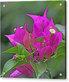 Beautiful Bougainvillea Acrylic Print by Becky Lodes