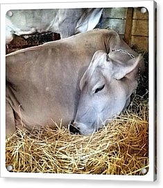 Beautiful Brown Swiss Acrylic Print