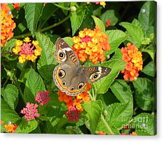 Beautiful Butterfly Acrylic Print by Sandy Owens