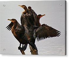 Beautiful Cormorants Acrylic Print by Paulette Thomas