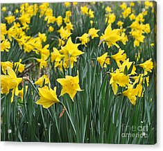 Beautiful Daffodil Field Floral Print Acrylic Print