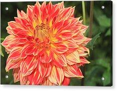 Beautiful Dahlia Acrylic Print