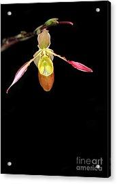 Beautiful Lady Slipper Orchid Acrylic Print by Sabrina L Ryan