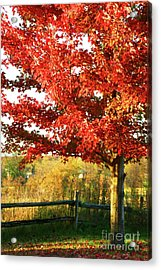 Beautiful Red Maple Tree  Acrylic Print by Sandra Cunningham