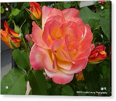 Acrylic Print featuring the photograph Beautiful Rose With Buds by Lingfai Leung