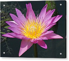 Beautiful Water Lily Acrylic Print by Becky Lodes