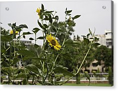 Beautiful Yellow Flower In A Garden Acrylic Print by Ashish Agarwal