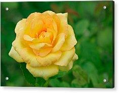 Beautiful Yellow Rose Acrylic Print by Atiketta Sangasaeng