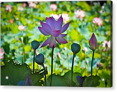Beauty In All Stage Of Life Acrylic Print by Cyndy Knudson