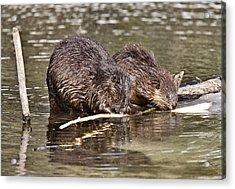Beaver At Work Acrylic Print