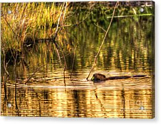Beaver Eating Late Evening Acrylic Print by Dan Friend