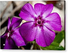 Bedeweled Acrylic Print by Christopher Holmes