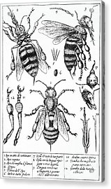 Bee Anatomy Historical Illustration Acrylic Print by SPL and Photo Researchers