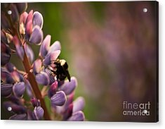 Bee And Lupine Acrylic Print by Venetta Archer