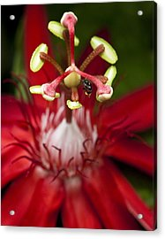 Bee Collecting Pollen On A Passiflora Flower Acrylic Print by Zoe Ferrie