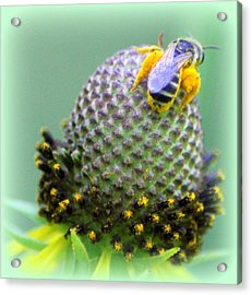 Bee Covered In Pollen Acrylic Print by Maureen  McDonald