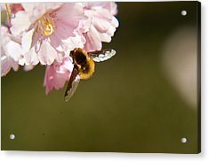 Bee Fly Feeding 4 Acrylic Print by Douglas Barnett