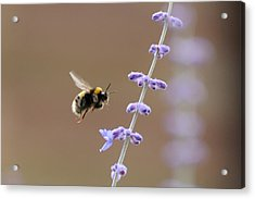 Bee Flying Towards Flowers Acrylic Print by Darren Moston