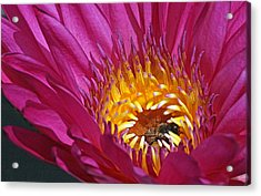 Bee Hiding In Pink Waterlily Acrylic Print by Becky Lodes