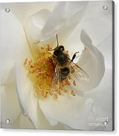 Bee In A White Rose Acrylic Print by Lainie Wrightson