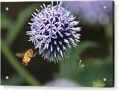 Bee In Flight Acrylic Print by Janet Mcconnell