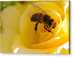 Bee Looking Down The Center Of A Yellow Rose Acrylic Print by Dina Calvarese