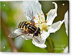 Bee On Apple Blossom Acrylic Print