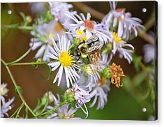 Acrylic Print featuring the photograph Bee On Aster by Mary McAvoy
