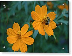 Bee On Cosmos Flower  Acrylic Print