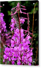 Acrylic Print featuring the photograph Bee On Fireweed In Alaska by Kathy  White
