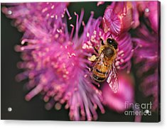 Bee On Lollypop Blossom Acrylic Print by Kaye Menner