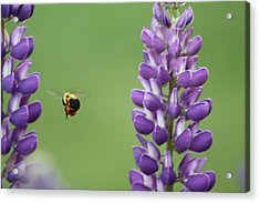 Bee On Lupine 2 Acrylic Print
