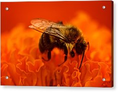 Bee On Orange Flower Acrylic Print