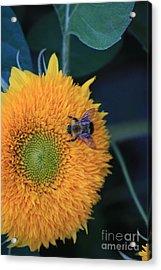 Bee On Teddybear Sunflower 2012 Acrylic Print by Marjorie Imbeau