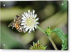 Acrylic Print featuring the photograph Bee On White Clover by Jodi Terracina