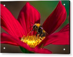 Acrylic Print featuring the photograph Beebot by Stwayne Keubrick