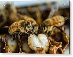 Bees Tending Larva Acrylic Print by James Bull