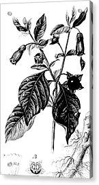 Belladonna, Alchemy Plant Acrylic Print