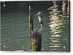 Acrylic Print featuring the photograph Bellingham Heron by Ronda Broatch