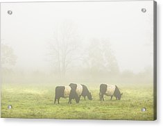 Belted Galloway Cows Grazing On Foggy Farm Field Maine Acrylic Print by Keith Webber Jr