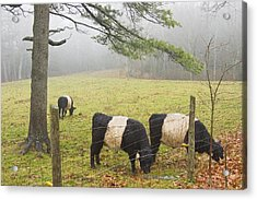 Belted Galloway Cows On Farm In Rockport Maine Photograph Acrylic Print by Keith Webber Jr